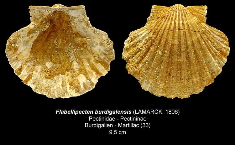 Gastéropodes burdigaliens du S.O. Flabel10