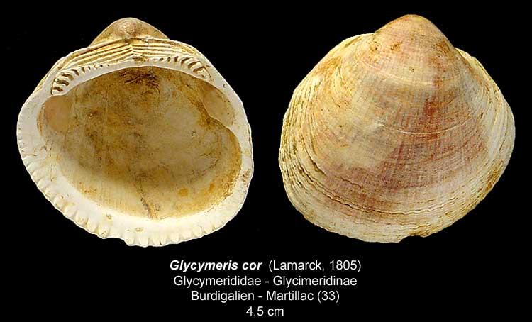 Gastéropodes burdigaliens du S.O. Glycym11