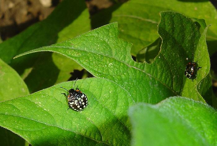 Petits insectes de jardin potager du Vaucluse Insect11