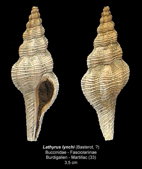 Gastéropodes burdigaliens du S.O. Lathyr10