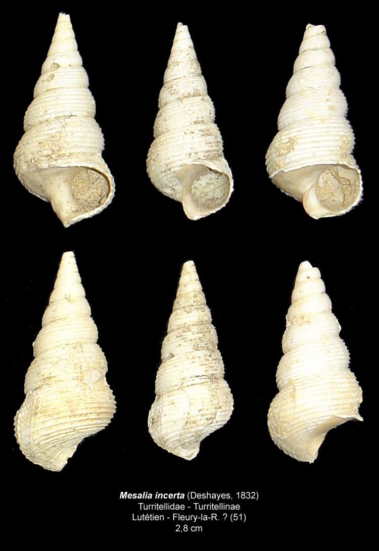 Gastéropodes burdigaliens du S.O. Mesali12
