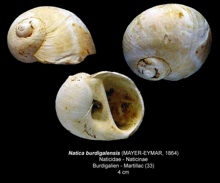 Gastéropodes burdigaliens du S.O. Natica12
