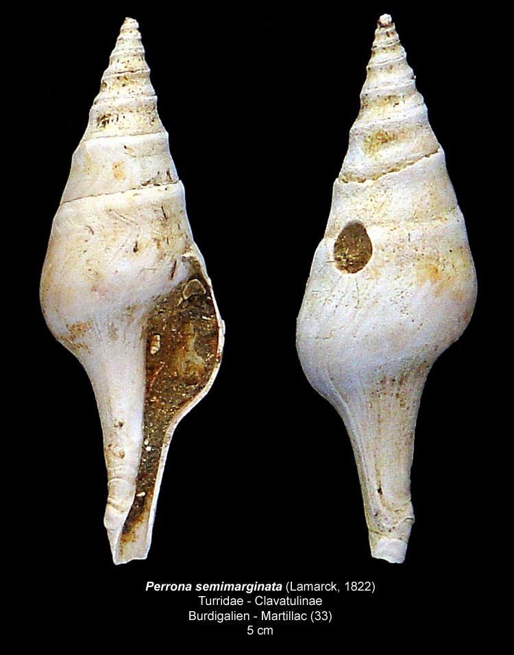 Gastéropodes burdigaliens du S.O. Perron10