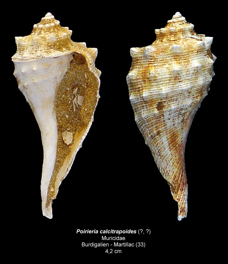 Gastéropodes burdigaliens du S.O. Poirie10
