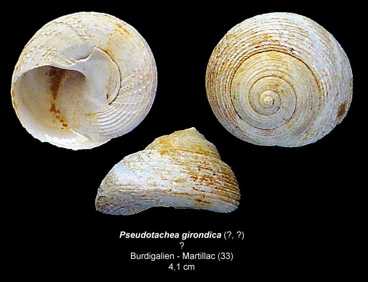 Gastéropodes burdigaliens du S.O. Pseudo10