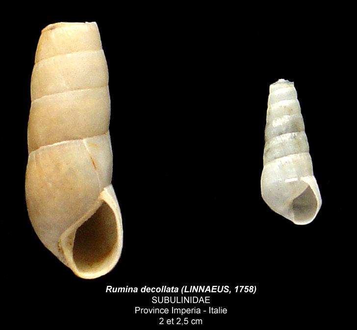 Gastéropode terrestre italien, apex cassé [Rumina decollata] Rumina10