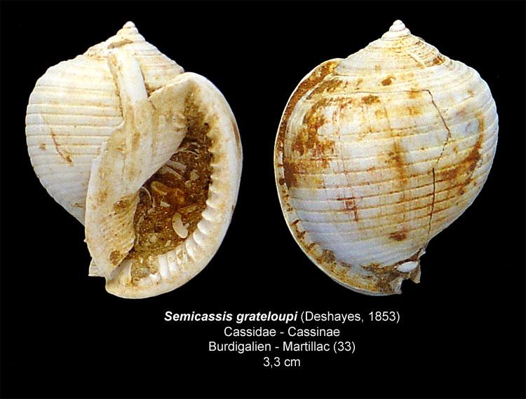 Gastéropodes burdigaliens du S.O. Semica10