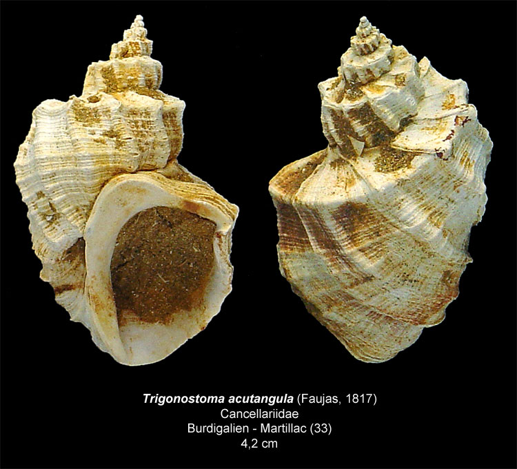 Gastéropodes burdigaliens du S.O. Trigon10