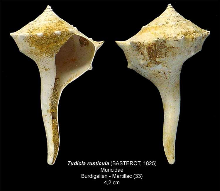 Gastéropodes burdigaliens du S.O. Tudicl11