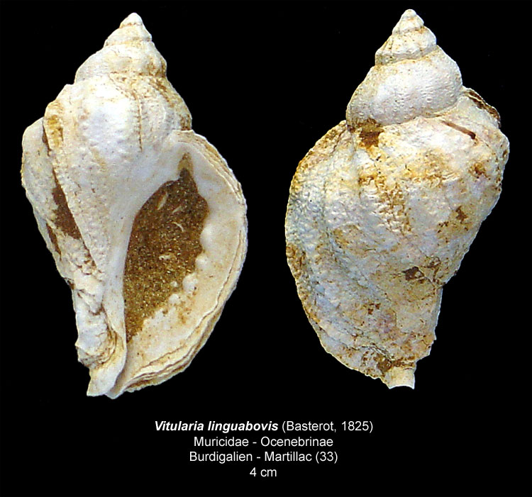 Gastéropodes burdigaliens du S.O. Vitula10