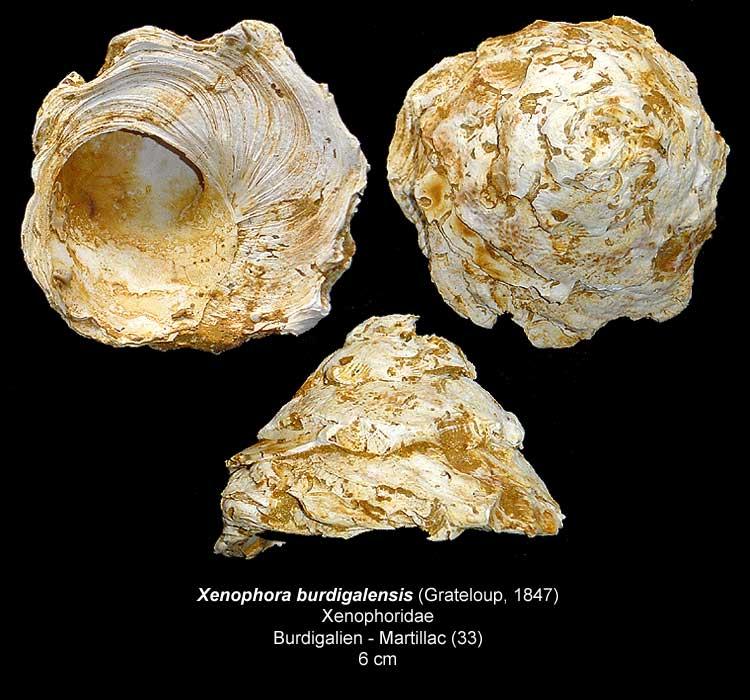 Gastéropodes burdigaliens du S.O. Xenoph13