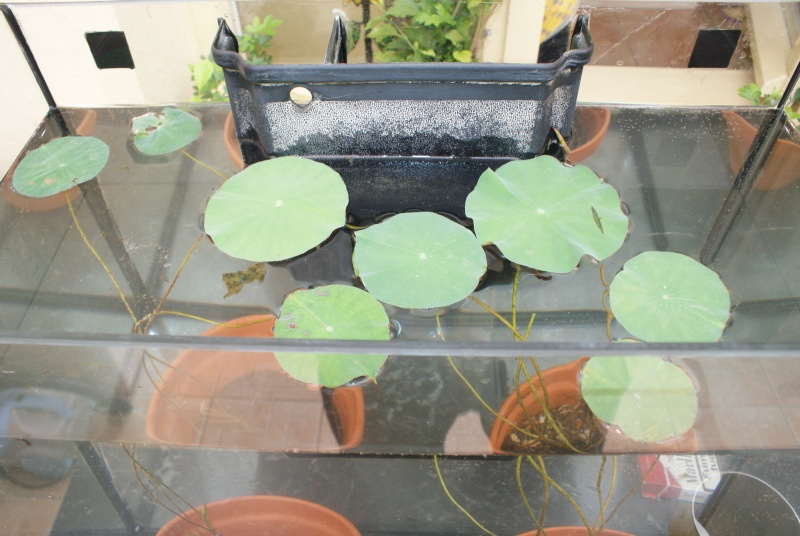 les graines de lotus de kiko - Page 2 Dsc04411