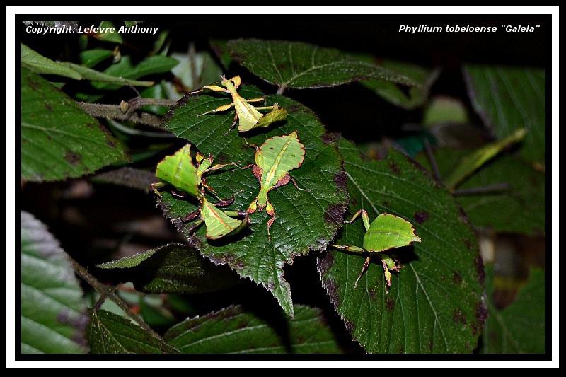 "Phyllium tobeloense ""Galela"" (P.S.G n° ???) Phylli11"