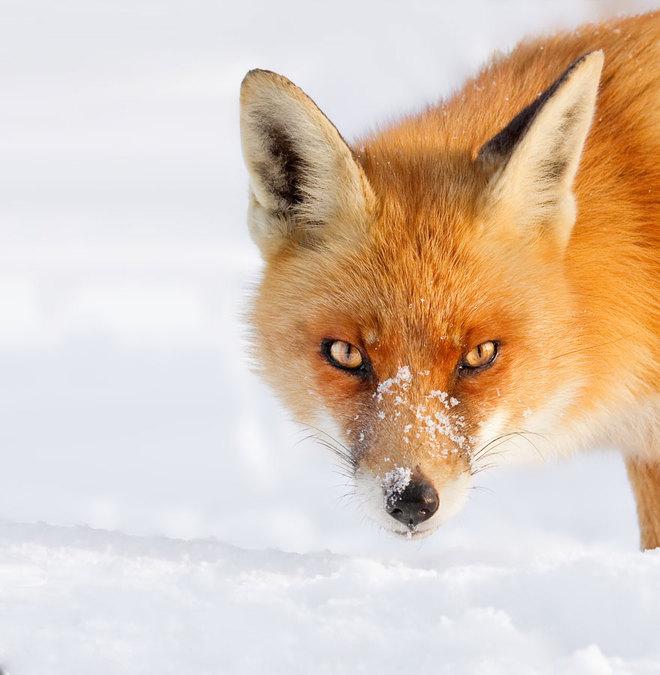 Cáo đỏ trong tuyết trắng Fox-sn10
