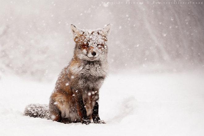 Cáo đỏ trong tuyết trắng Fox-sn11
