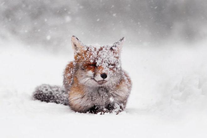 Cáo đỏ trong tuyết trắng Fox-sn12