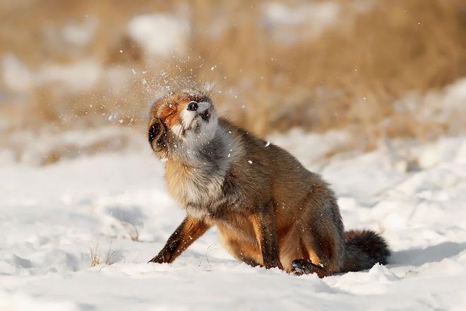 Cáo đỏ trong tuyết trắng Fox-sn13