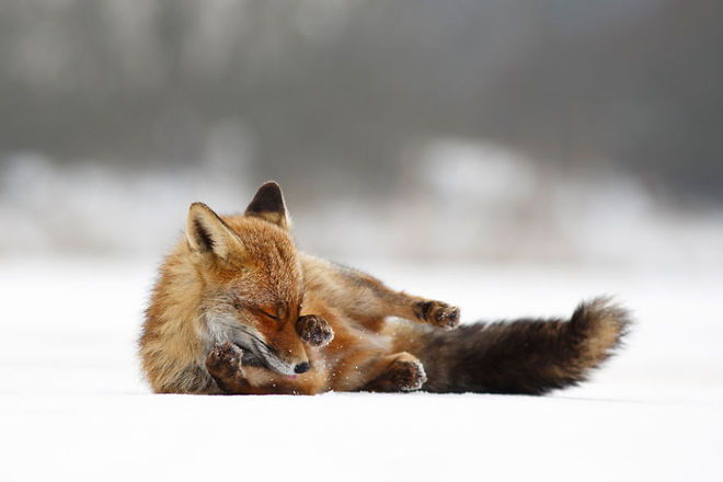 Cáo đỏ trong tuyết trắng Fox-sn14