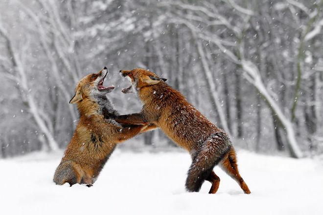 Cáo đỏ trong tuyết trắng Fox-sn15