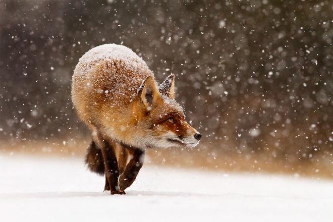 Cáo đỏ trong tuyết trắng Fox-sn16