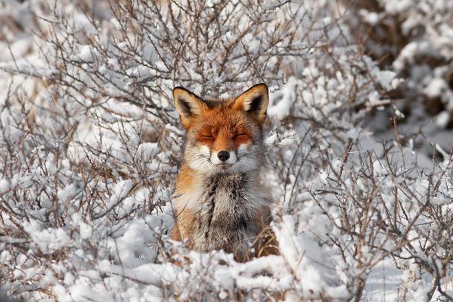 Cáo đỏ trong tuyết trắng Fox-sn17