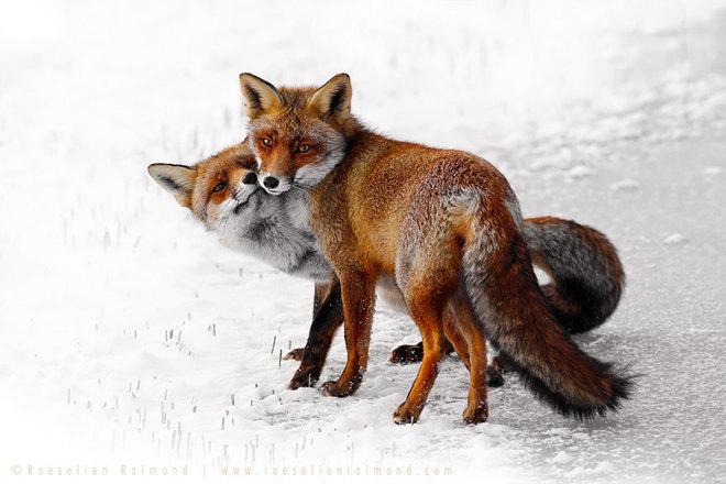 Cáo đỏ trong tuyết trắng Fox-sn18