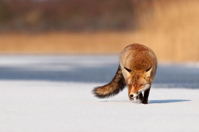 Cáo đỏ trong tuyết trắng Fox-sn19