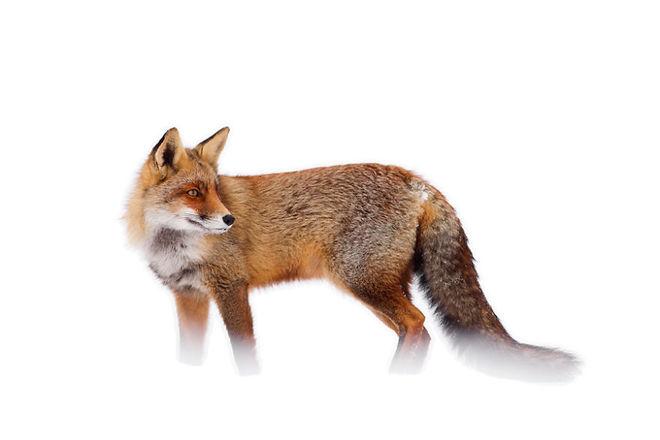 Cáo đỏ trong tuyết trắng Fox-sn20