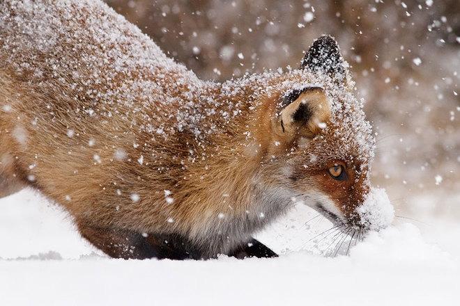 Cáo đỏ trong tuyết trắng Fox-sn21