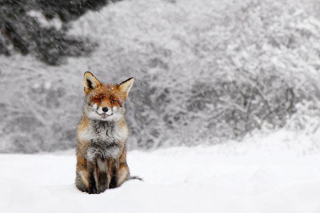 Cáo đỏ trong tuyết trắng Fox-sn22