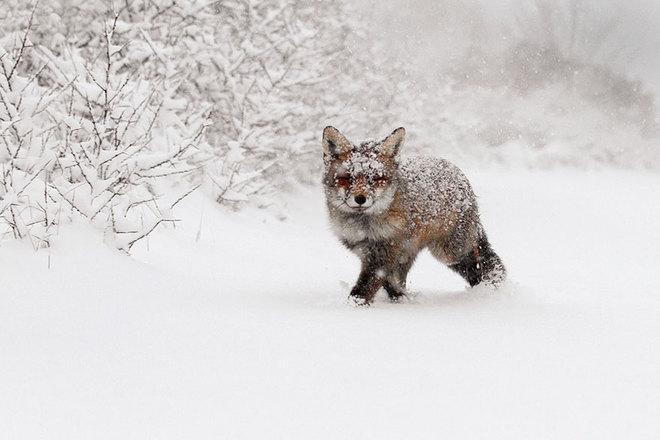 Cáo đỏ trong tuyết trắng Fox-sn23