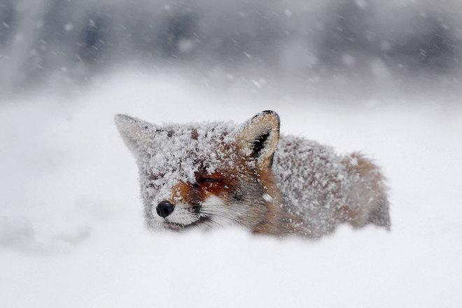 Cáo đỏ trong tuyết trắng Fox-sn24