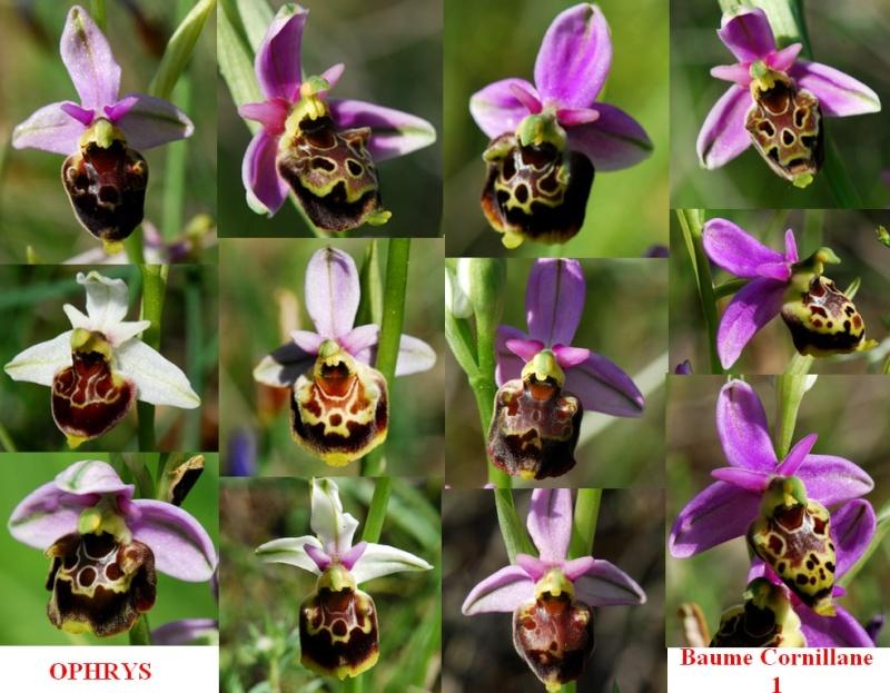 Ophrys du tricastin...... pourquoi pas!  Baume110