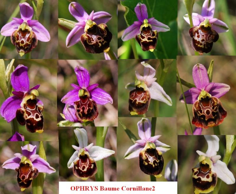 Ophrys du tricastin...... pourquoi pas!  Baume210