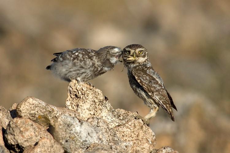 Oiseaux de nuit Chevec11