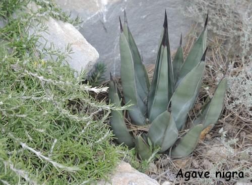 Agave nigra (Agave x nigra) Dscn4111