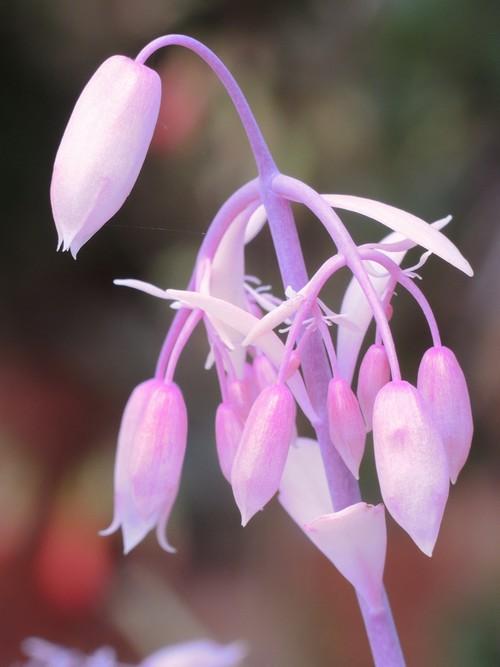 Bryophyllum fedtschenkoi (= Kalanchoe fedtschenkoi) Dscn4117
