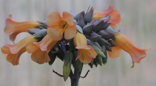 Bryophyllum delagoensis (= Kalanchoe delagoensis = K. tubiflora) et hybrides - Page 3 Dscn4121
