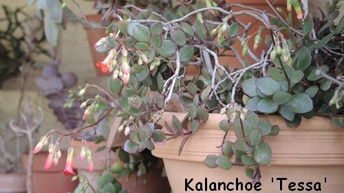 Bryophyllum 'Tessa' (= Kalanchoe 'Tessa') Dscn4122