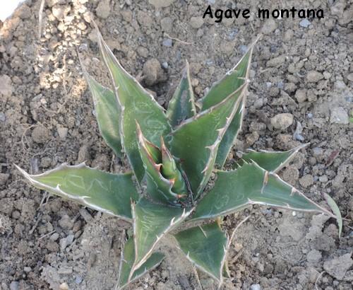 Agave montana  - Page 2 Dscn4210