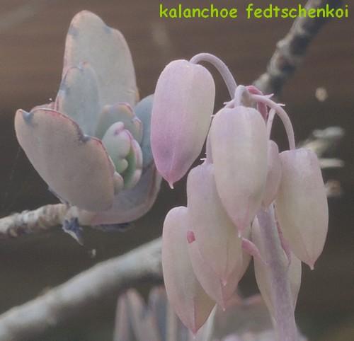 Bryophyllum fedtschenkoi (= Kalanchoe fedtschenkoi) Dscn4220