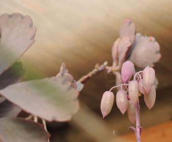 Bryophyllum fedtschenkoi (= Kalanchoe fedtschenkoi) Dscn4221