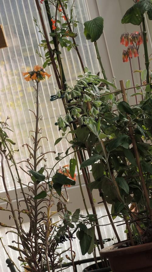 Bryophyllum delagoensis (= Kalanchoe delagoensis = K. tubiflora) et hybrides - Page 3 Dscn4222
