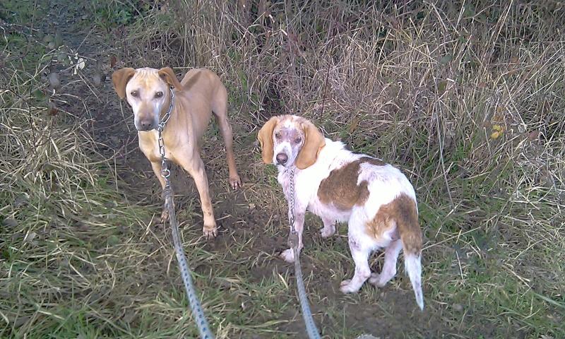 GAUFRETTE - x beagle 8 ans (dont 7 ans de refuge) - Refuge des Clochards Poilus à Tabanac (33) Imag0015