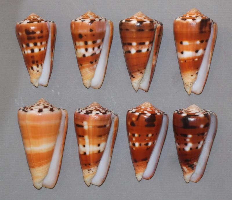 Conus (Pionoconus) barthelemyi  Bernardi, 1861 - Page 3 Bartoc11