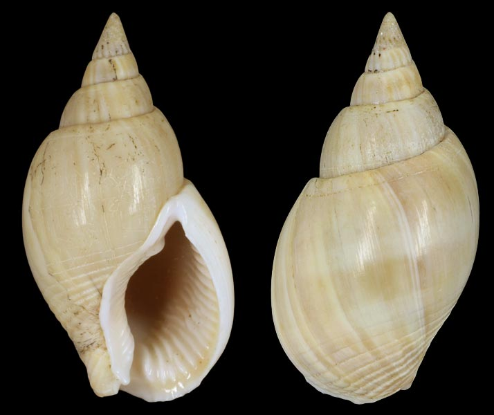 Nassarius thachi - Dekker, 2004 Nassar10