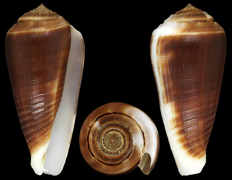 Conus (Phasmoconus) radiatus   Gmelin, 1791 Radiat10