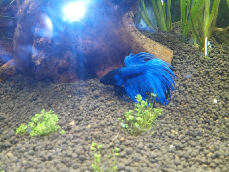 [ Mâle Crowntail bleu] Le plus beau des cadeaux de Noël .... Betta010