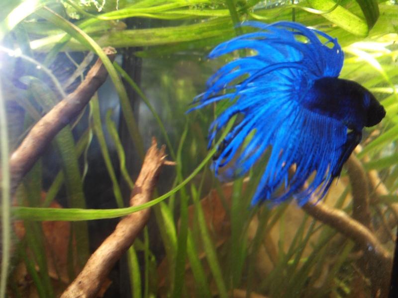 [ Mâle Crowntail bleu] Le plus beau des cadeaux de Noël .... Betta110