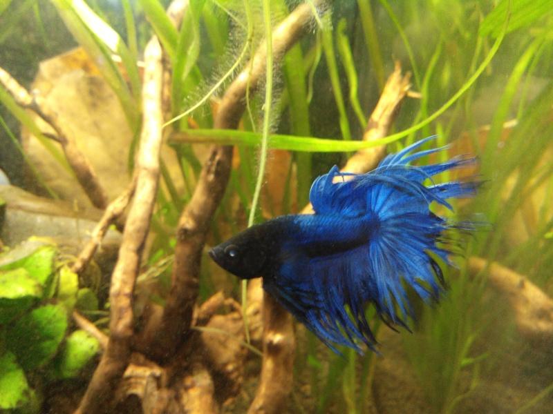 [ Mâle Crowntail bleu] Le plus beau des cadeaux de Noël .... Betta112